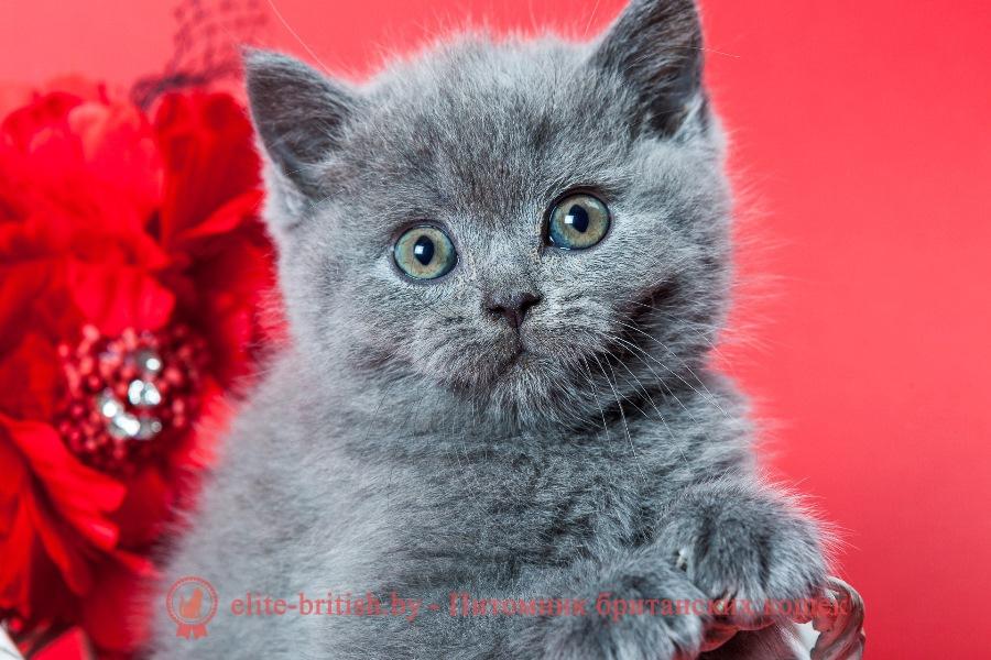 Британский котенок голубогоокраса Unique