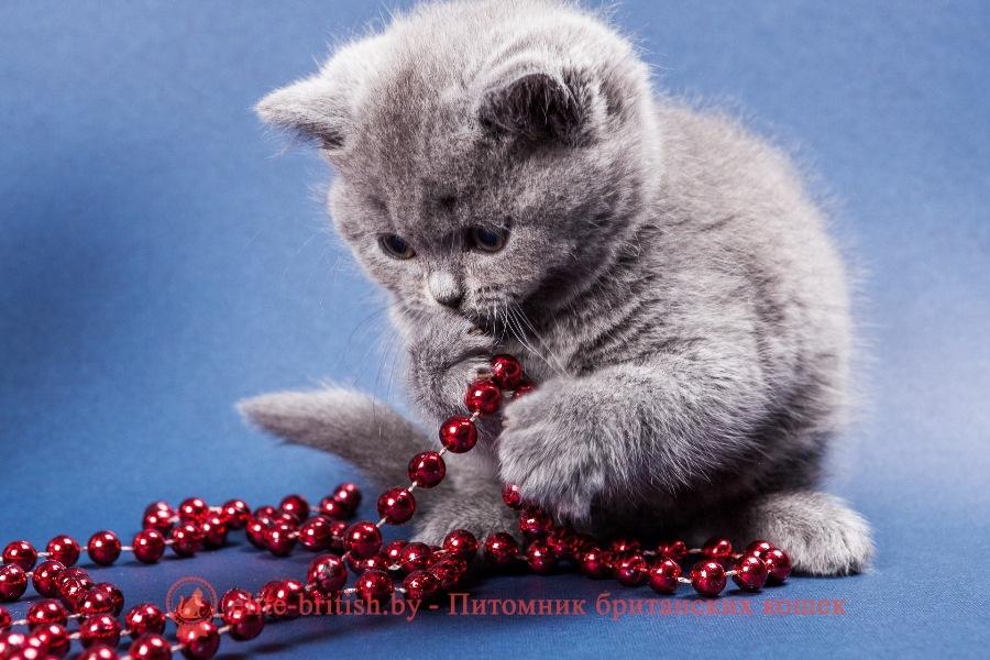 Британский котенок голубогоокрасаUkka
