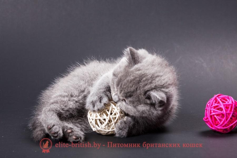Купить британских котят коты и кошки голубые лиловые