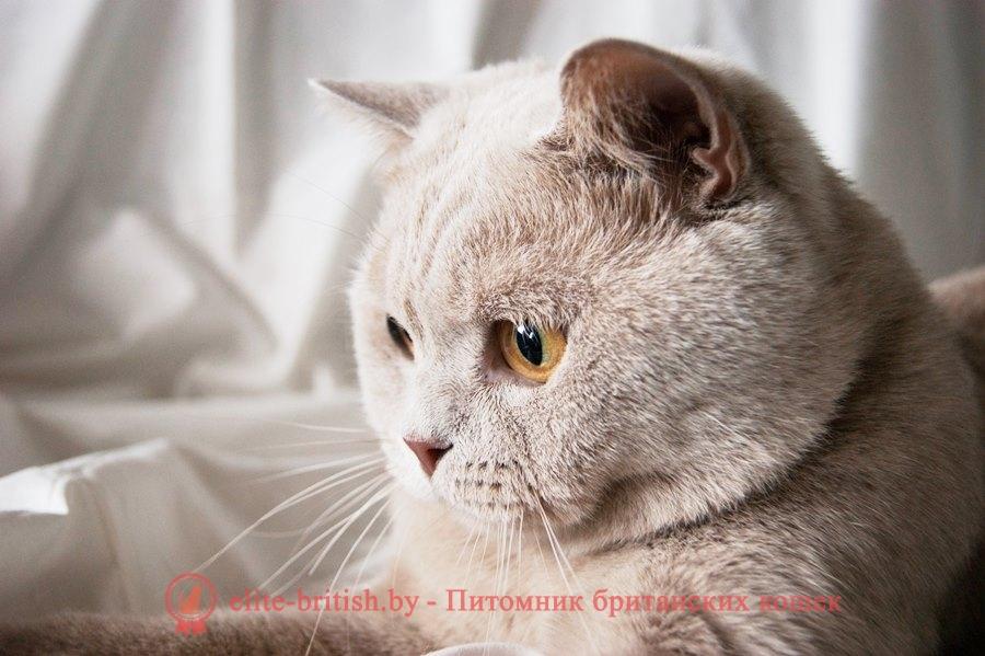 Британский кот Гарфилд окраса фавн