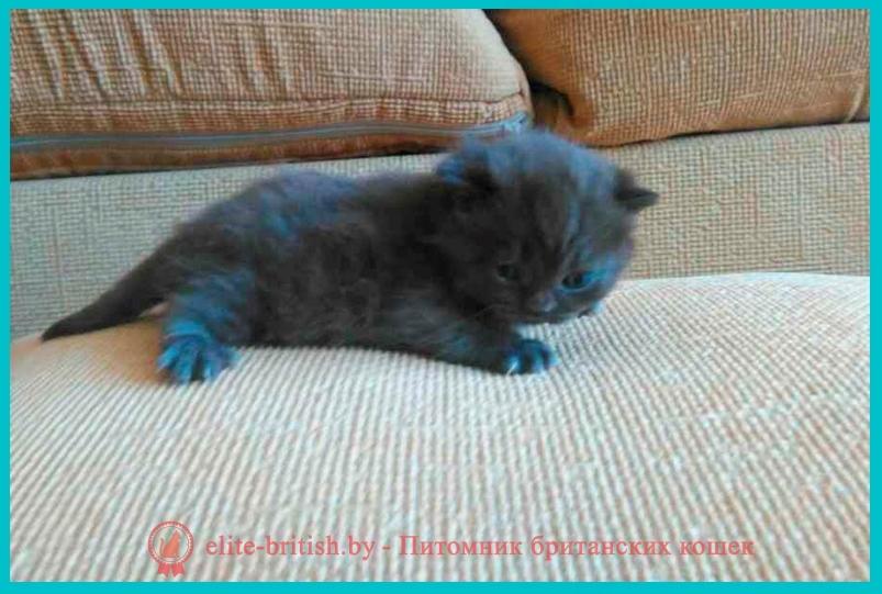 котята британские шоколадного окраса фото