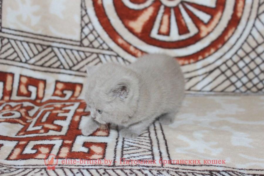 Британский котенок лилового окраса Izabella Elite British (Изабелла)