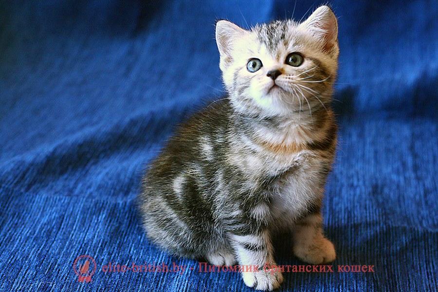 Британский котенок черного черепахового окраса Сerebrita Pruss
