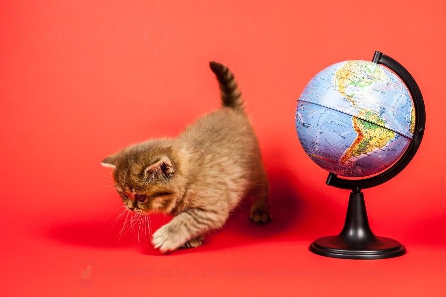 Британский котенок шоколадного пятнистого окраса Bounty