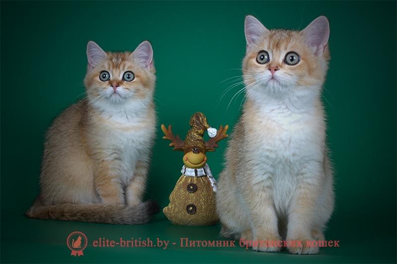 Британский котенок окраса золотая шиншилла