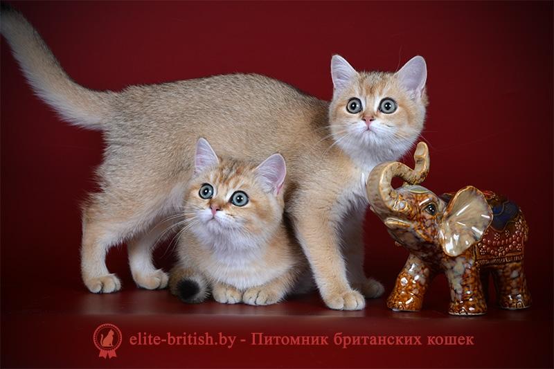 Британский котенок окраса золотая шиншилла Fiolla GOLDEN EYES (Фиолла)