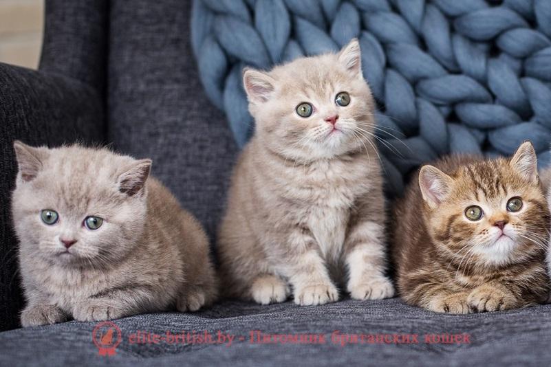 Британские котята лилового и шоколадного окрасов питомника Elite British