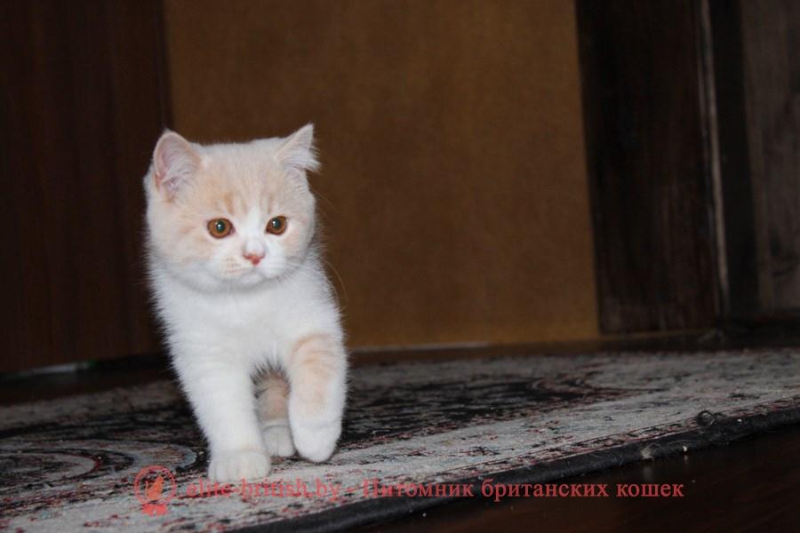 Британский котенок окраса кремовый биколор Salvador Diona (Cальвадор)