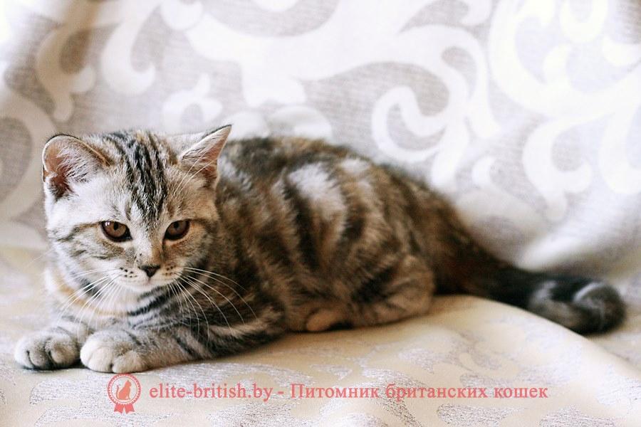 Британский котенок черного мраморного черепахового окраса Сerebrita Pruss (Серибрита)