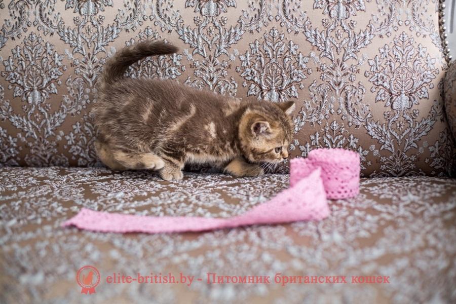Британский котенок шоколадного мраморного окраса Infiniti Elite British (Инфинити)