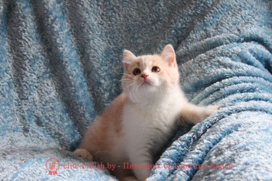 Британский котенок окраса кремовый биколор Salvador Diona