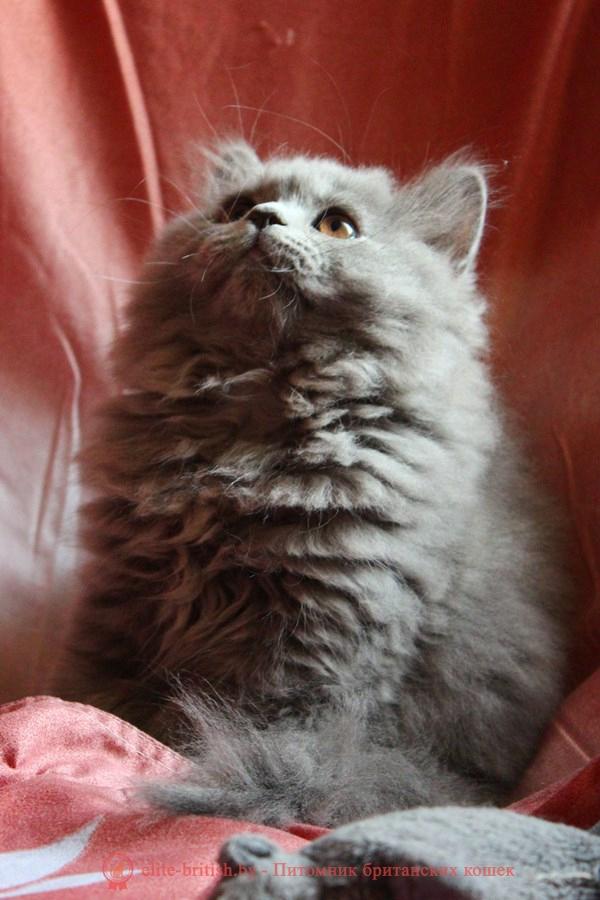Британский длинношерстный котенок голубого окраса Santa Luchia Diona (Лючия)