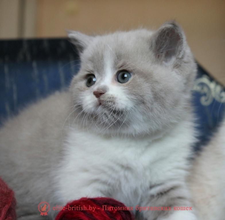 Британский котенок окраса фавн биколор Sebastian Diona (Cебастьян)