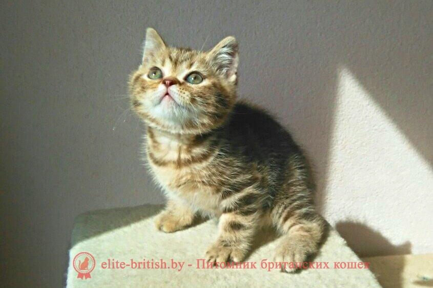 Британский котенок шоколадного пятнистого окраса Barbaris (Барбарис)