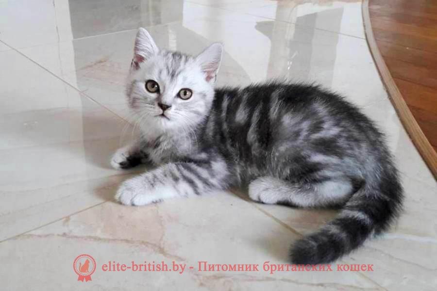 Британский котенок черный мрамор на серебре Бакс