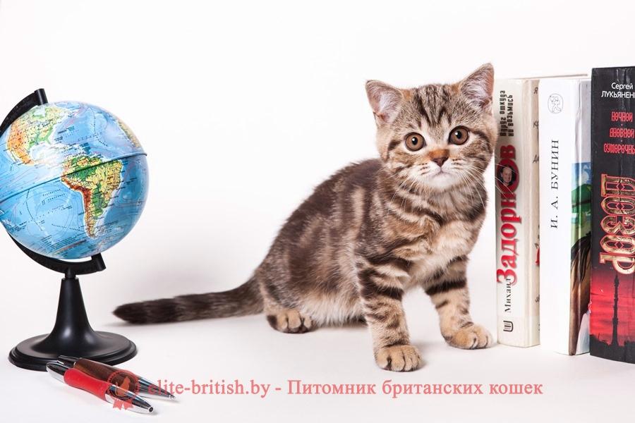 Британский котенок шоколадного мраморного окраса Карамелла