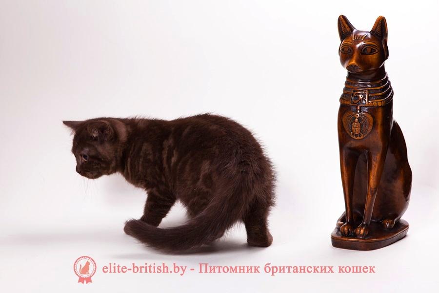 Британский котенок шоколадного окраса Шанель