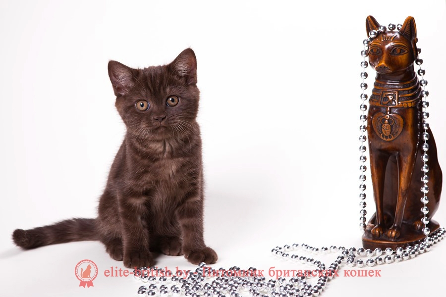 Британский котенок шоколадного окраса Цилия
