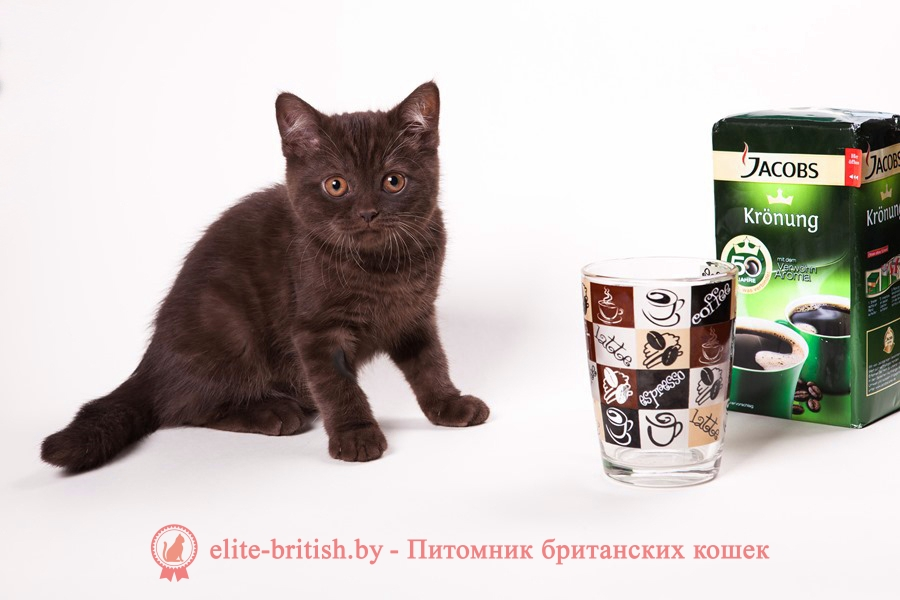 Британский котенок шоколадного окраса Клеопатра