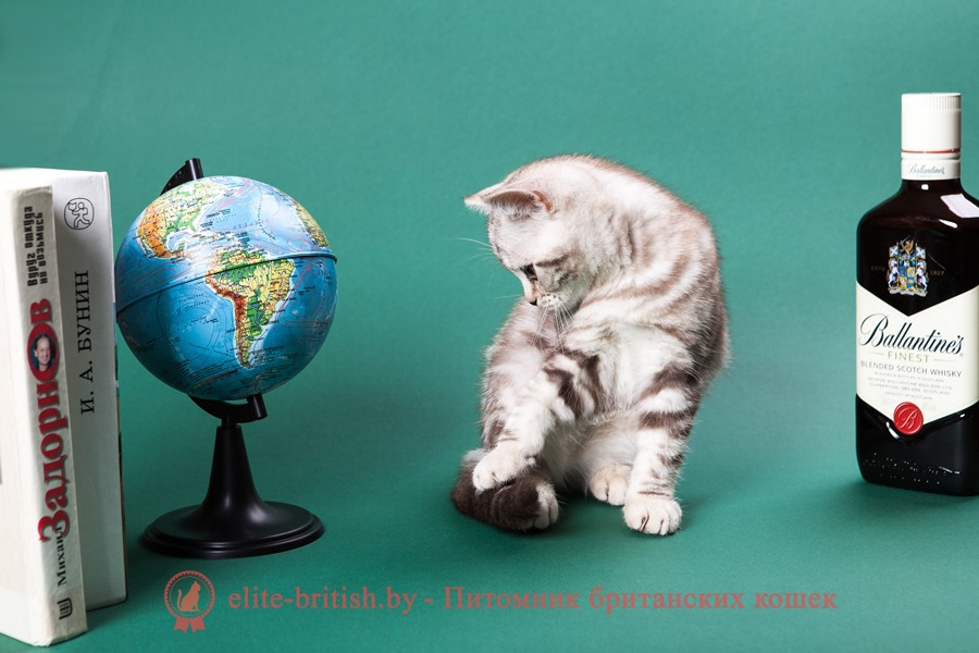 Британский котенок серебристого шоколадного мраморного окраса Кристалл