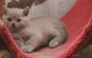 Британский котенок лилового окраса Каспер