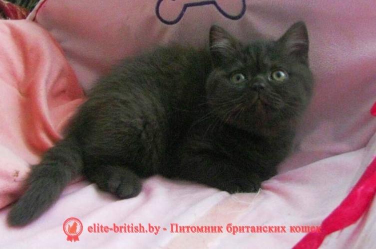Британский котенок шоколадная черепаха Cjara (Кьяра)