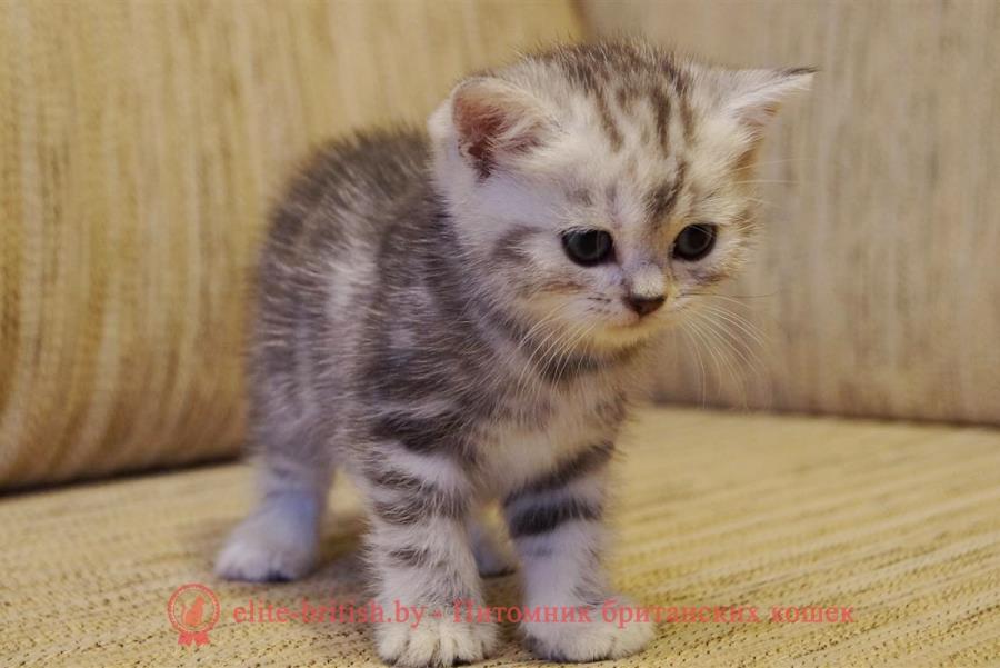 Британские котята черный черепаховый мрамор на серебре - Муза