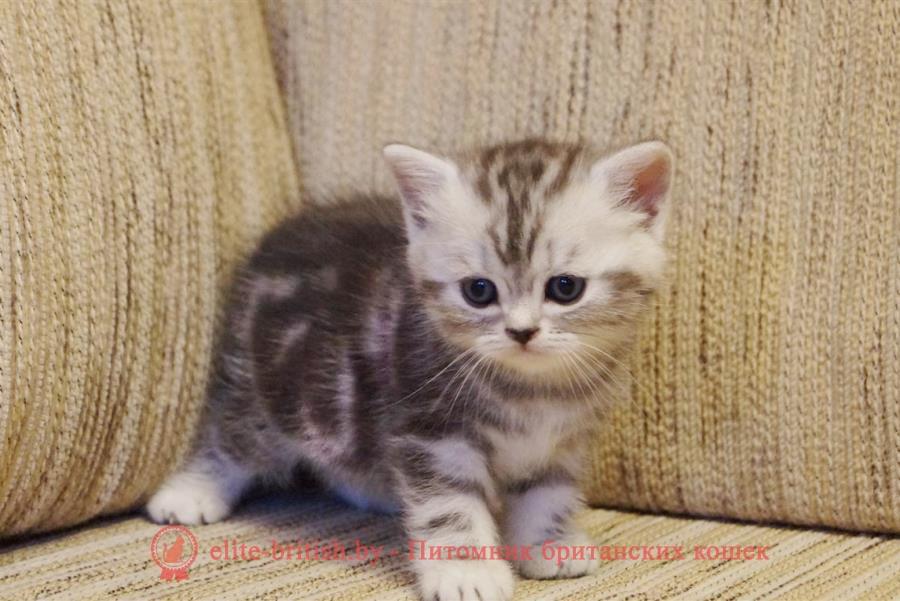 Британский котенок черный мрамор на серебре - Мечта