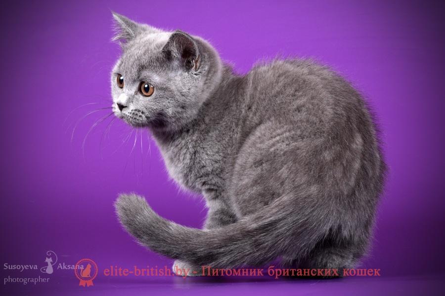 Британский котенок голубого окраса Robert Pruss (Роберт)