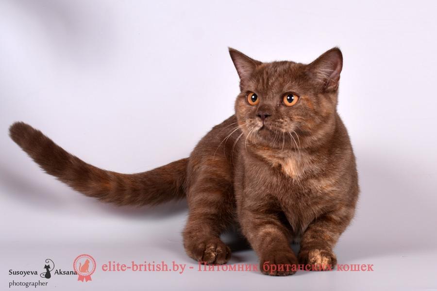 Британский котенок шоколадного мраморного черепахового окраса Сlara Pruss (Клара)