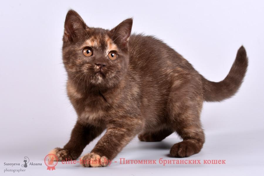 Британский котенок шоколадного черепахового окраса Fiona From Royal collection (Фиона)