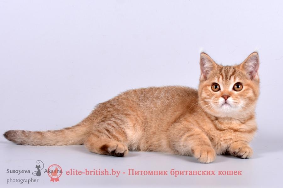 Британский котенок шоколадного пятнистого окраса Fancy From Royal collection (Фэнси)