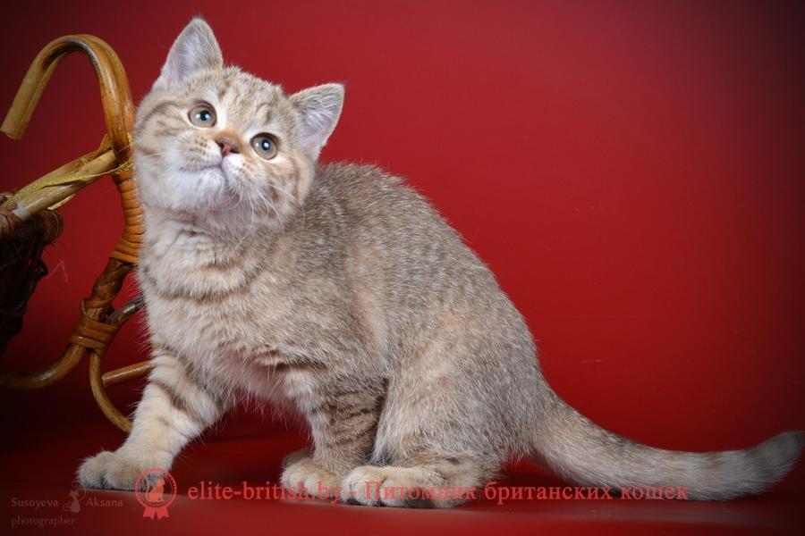 Британский котенок шоколадного пятнистого окраса Friderika From Royal collection (Фридерика)