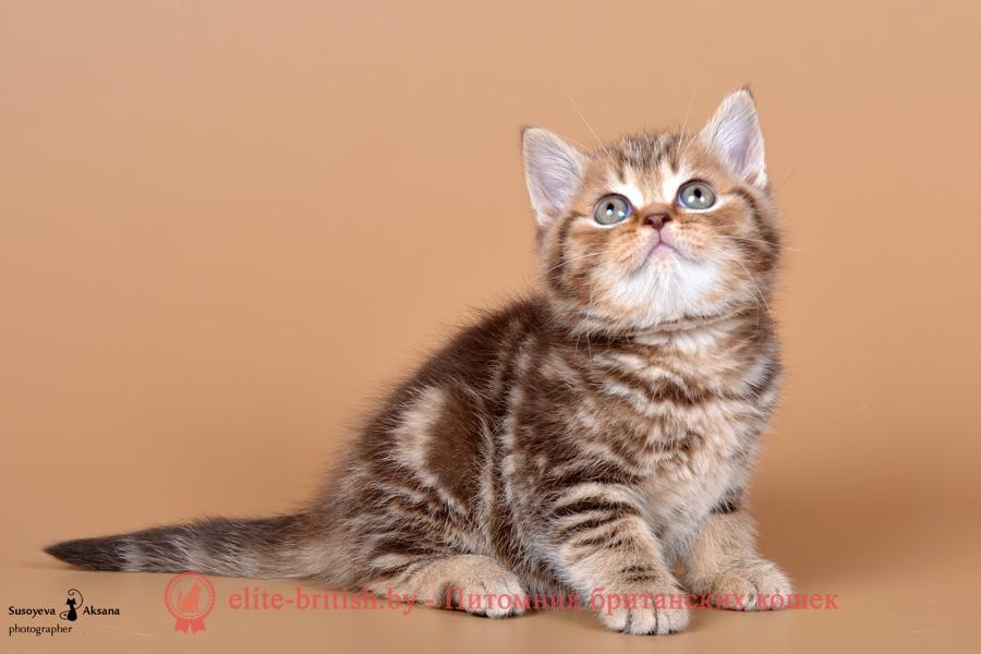 Британские котята шоколадного, пятнистого и мраморного окрасов