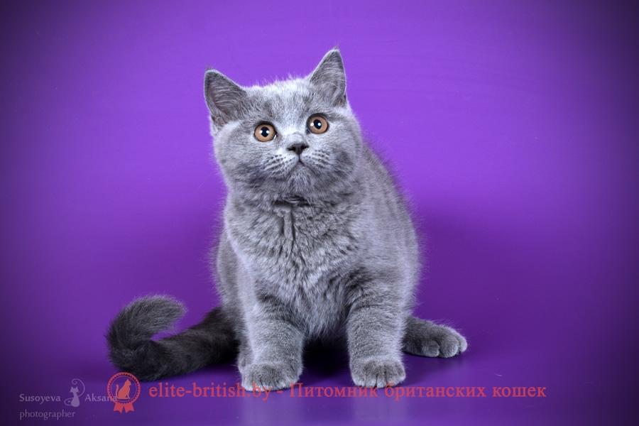 Британский котенок голубого окраса Rosalina Pruss (Росалина)