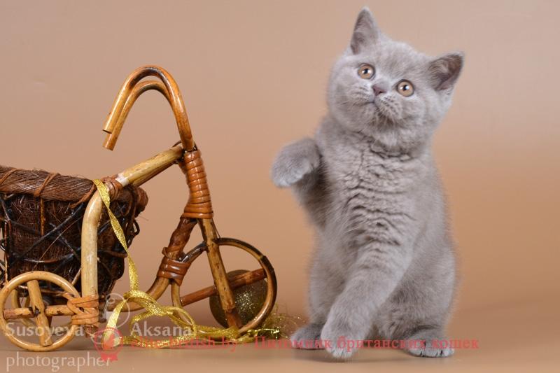 Британский котенок лилового окраса Эшли