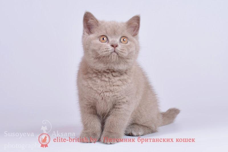 Британский котенок лилового окраса Фабио