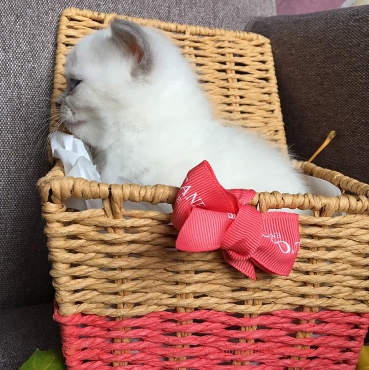 Британский котенок лиловый пойнт Daphne (Дафни)