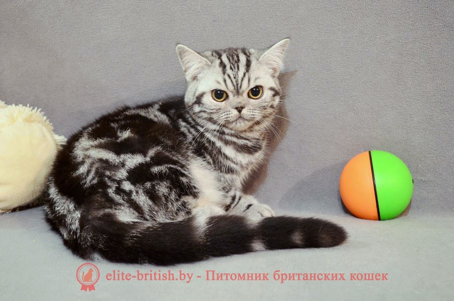 Британский котенок серебристого пятнистого окраса Babette IrabellBY