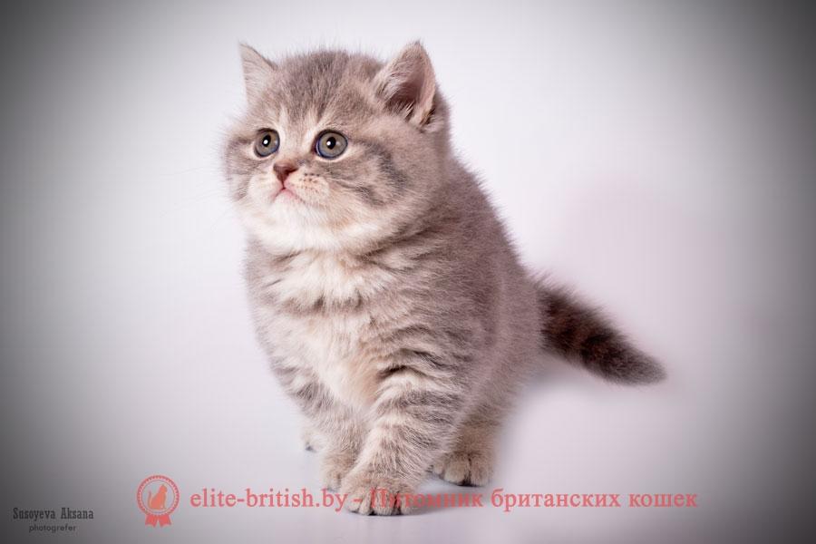 Британский котенок Jane (Дженни) голубой пятнистый (BRI a 24)