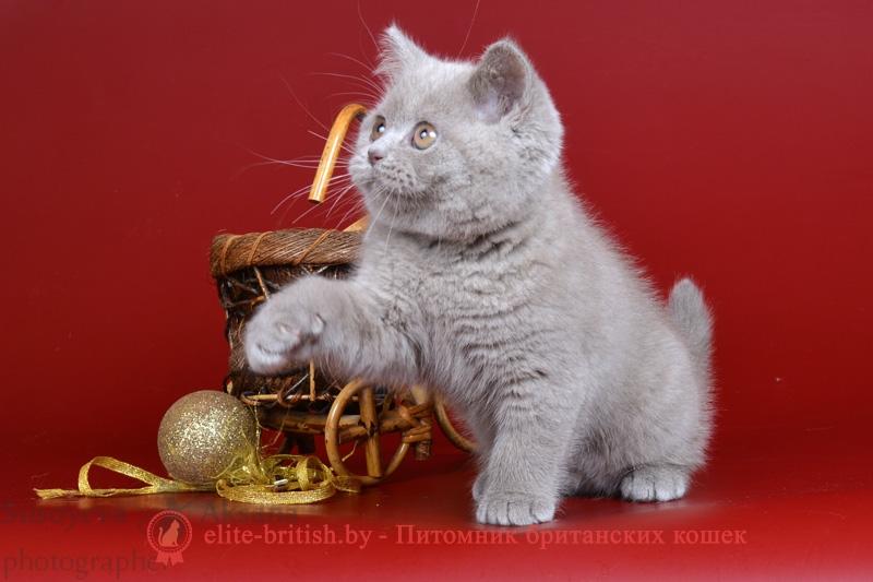 Британский котенок лилового окраса (BRI c)