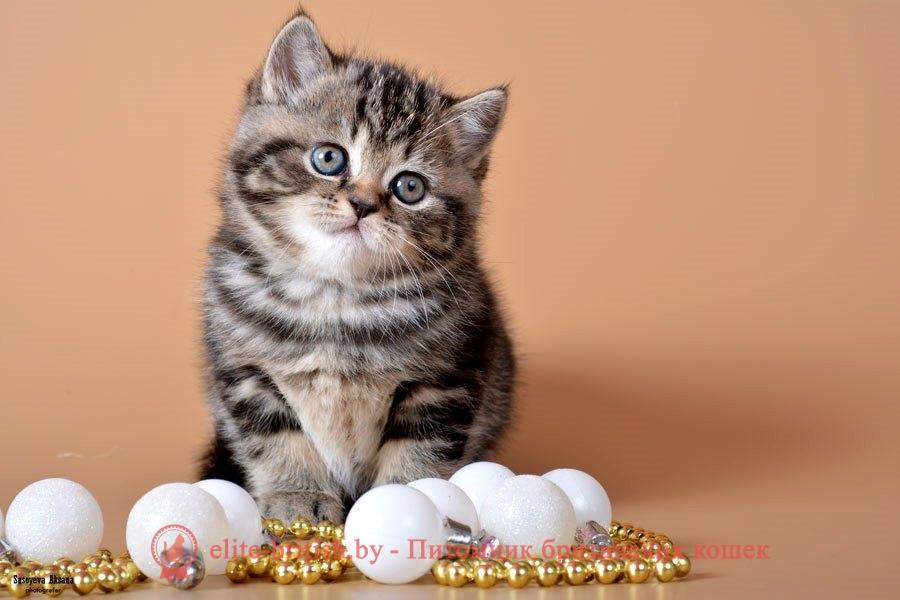 Британский котенок Jordan (Джордан), окрас черный мраморный
