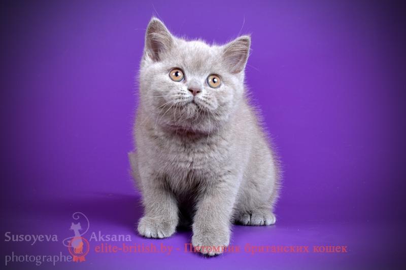 Британский кот питомник минск