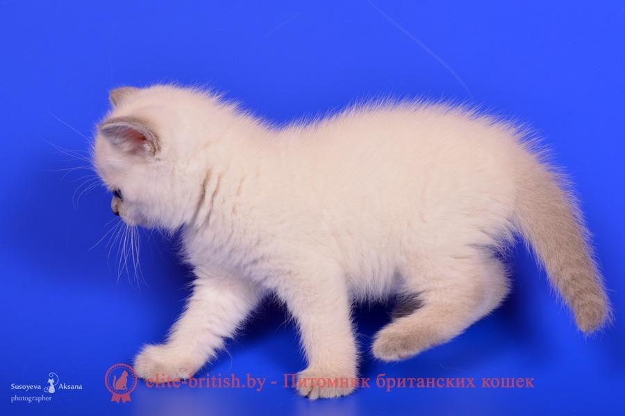 Британский котенок лиловый пойнт Dolce (Дольче)