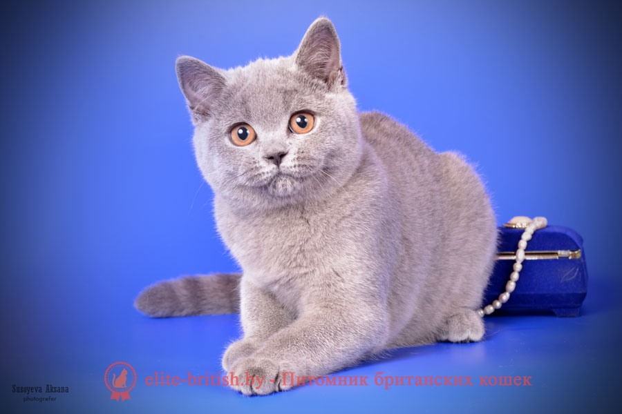 Британский котенок Brittany (Бриттани) голубого окраса (BRI a)