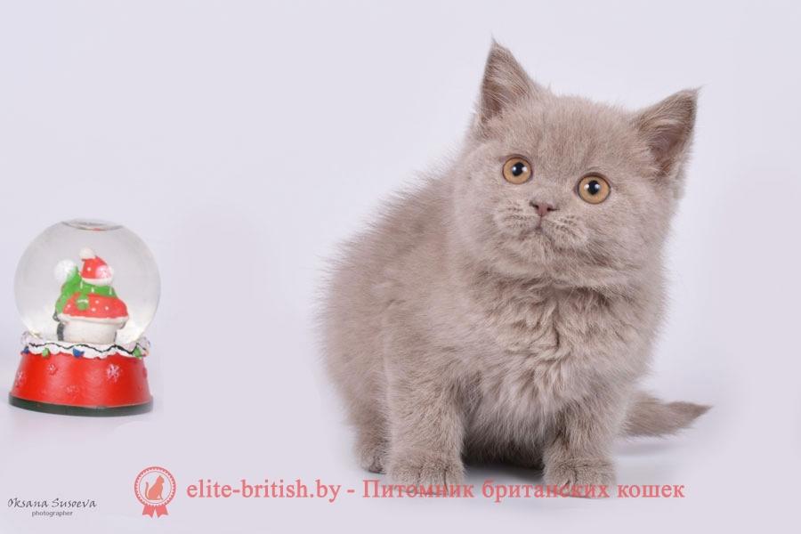 Лиловая девочка Орнелла, британский котенок