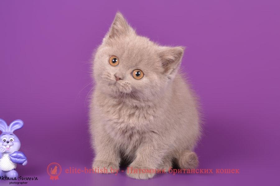 Лиловые и голубые британские котята