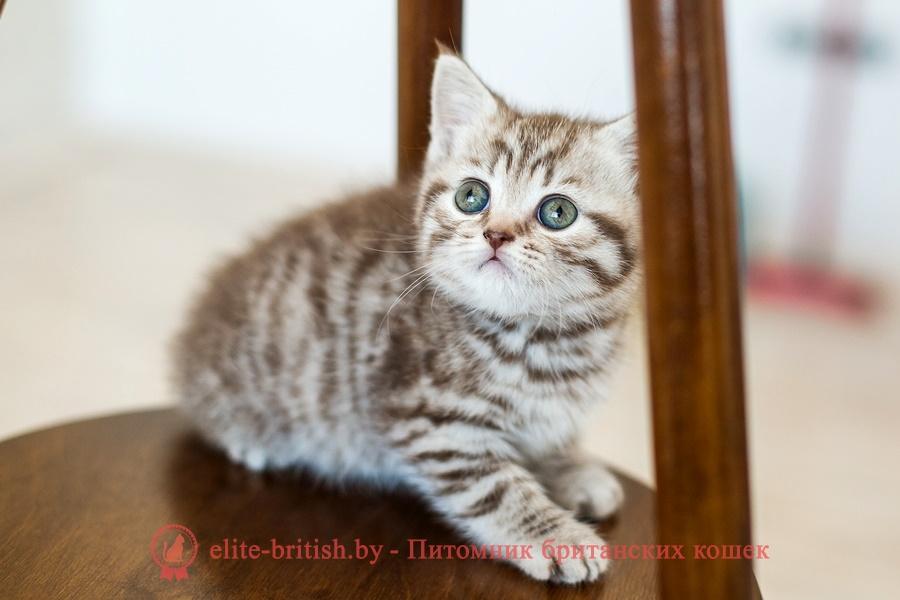 Шоколадный серебристый пятнистый британский котенок Markus (Маркус)