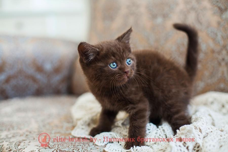 Шоколадный британский котенок Michael (Майкл)