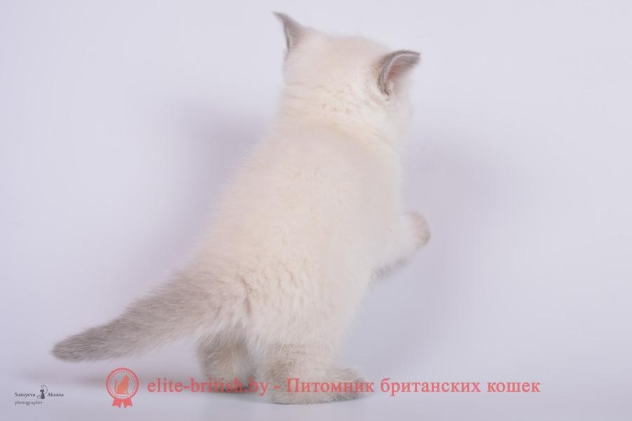 Британский котенок лиловый пойнт Diamond (Диамонд)